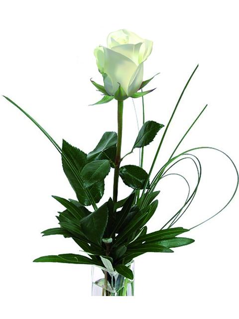 Una rosa bianca a Roma