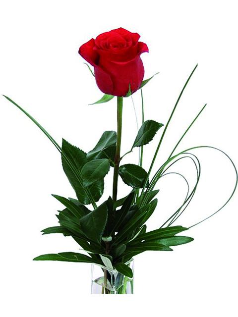 Una rosa rossa gambo lungo a Roma